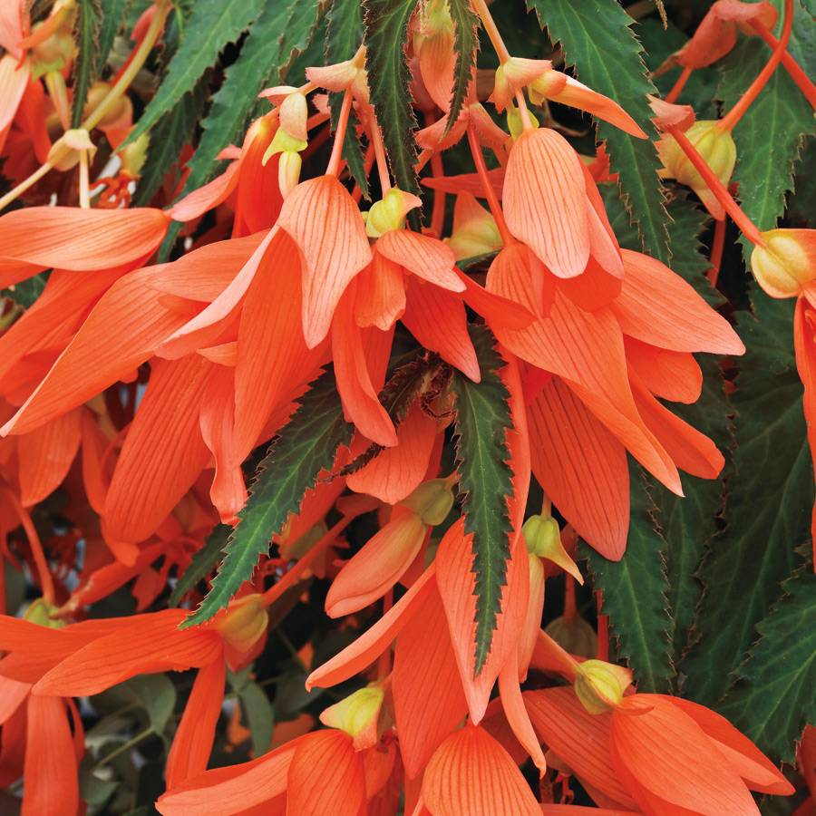 San Francisco Begonia Seeds From Park Seed