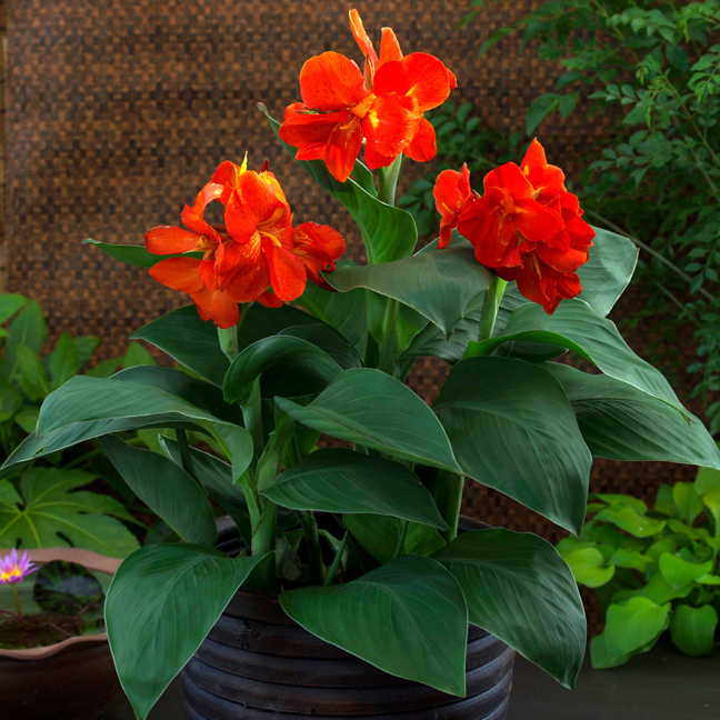 Canna South Pacific Scarlet Seeds From Park Seed
