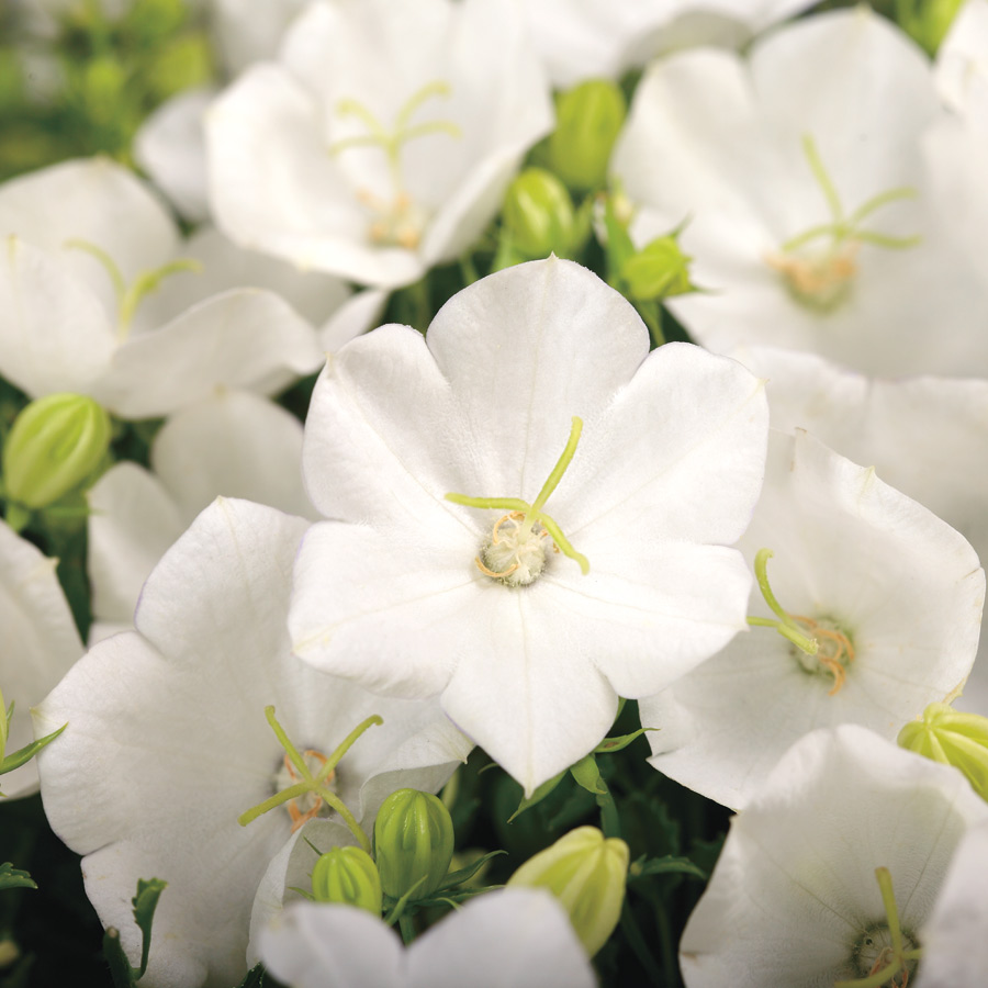 Rapido White Campanula Seeds From Park Seed