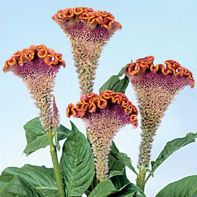 Bombay Fiora Deep Gold Cockscomb Seeds