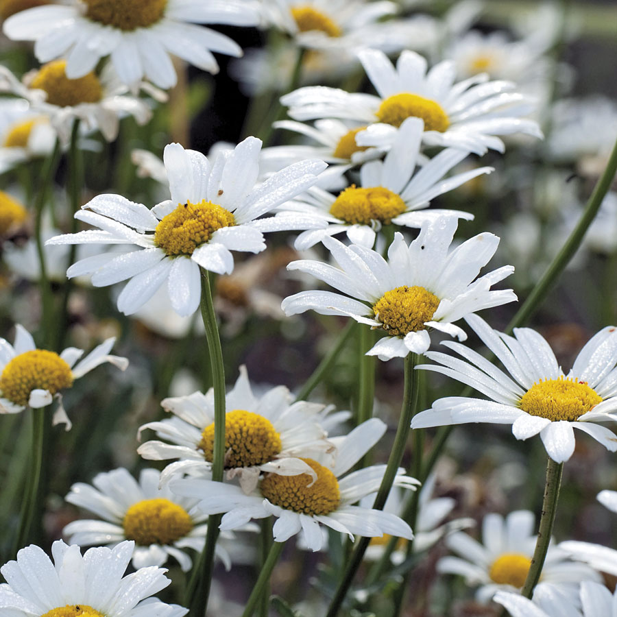 White breeze shasta daisy seeds izmirmasajfo