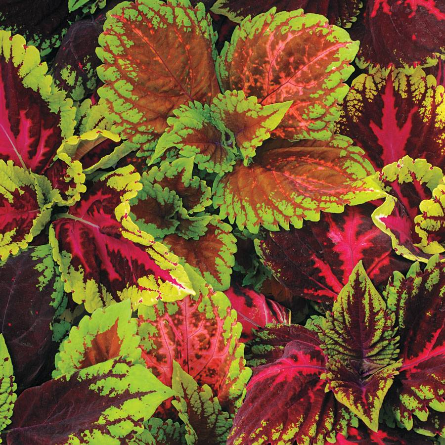 Coleus Kong Empire Mix Pelleted Seeds From Park Seed