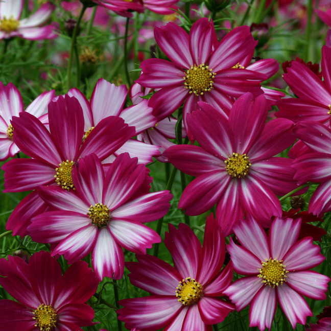 peppermint candy cosmos seeds from park seed