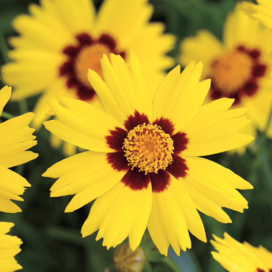 Sunkiss Coreopsis Seeds From Park Seed