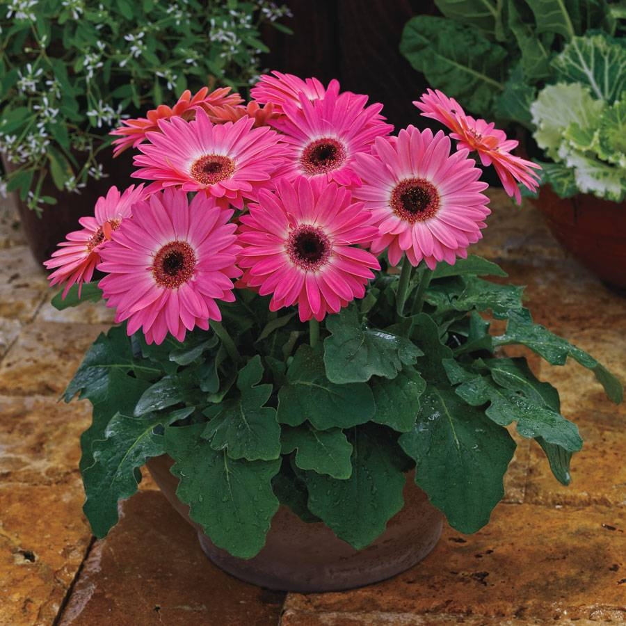 majorette pink halo gerbera daisy seeds from park seed. Black Bedroom Furniture Sets. Home Design Ideas