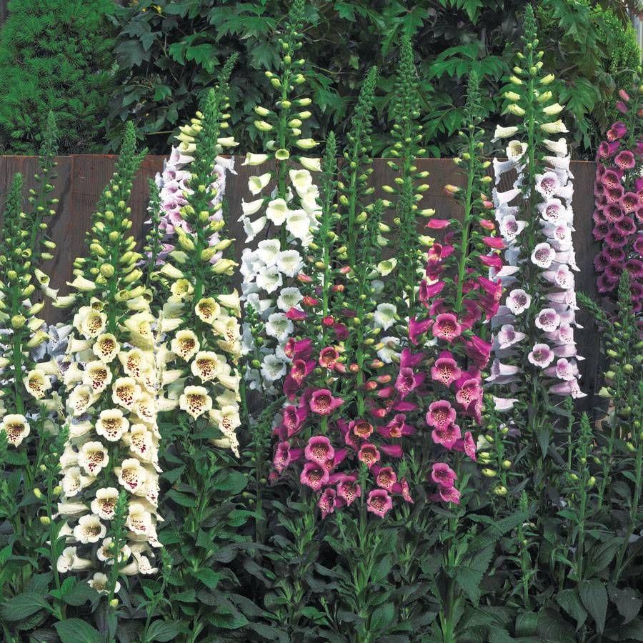 Camelot™ Mix Hybrid Foxglove Seeds Image