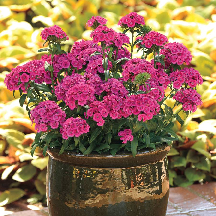Jolt Pink Dianthus Seeds From Park Seed