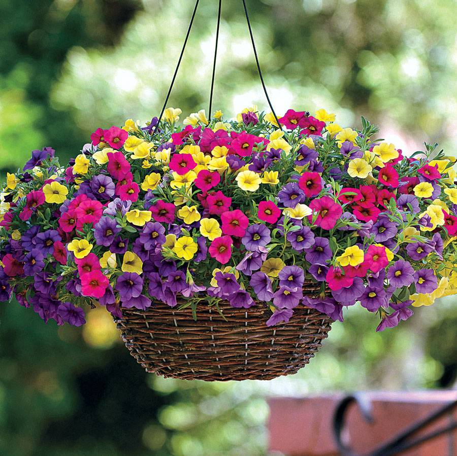 paradise island calibrachoa fuseable seeds from park seed. Black Bedroom Furniture Sets. Home Design Ideas