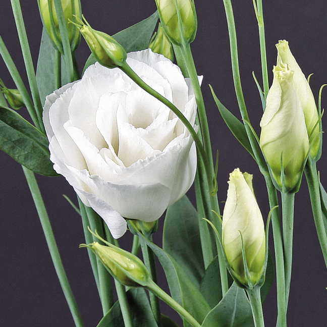 Charisma white lisianthus seeds exclusive charisma white lisianthus seeds mightylinksfo