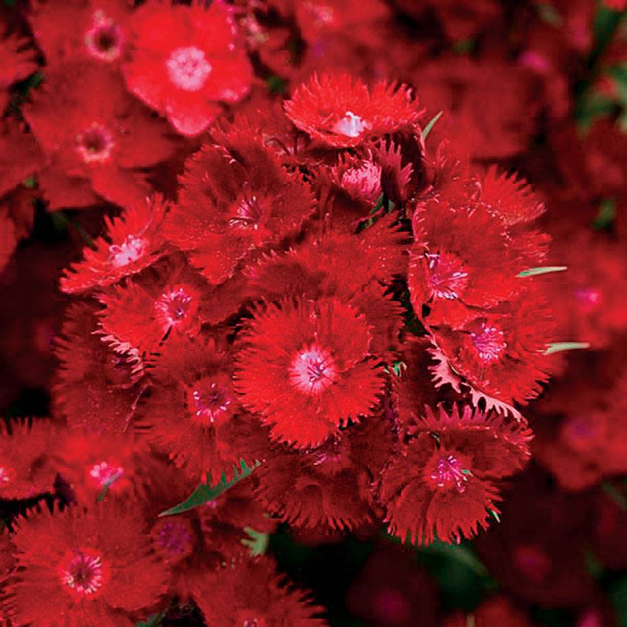 Rockin Red Dianthus Seeds From Park Seed