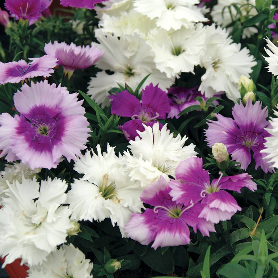 Diana lavendina mix dianthus seeds from park seed parks selects mightylinksfo