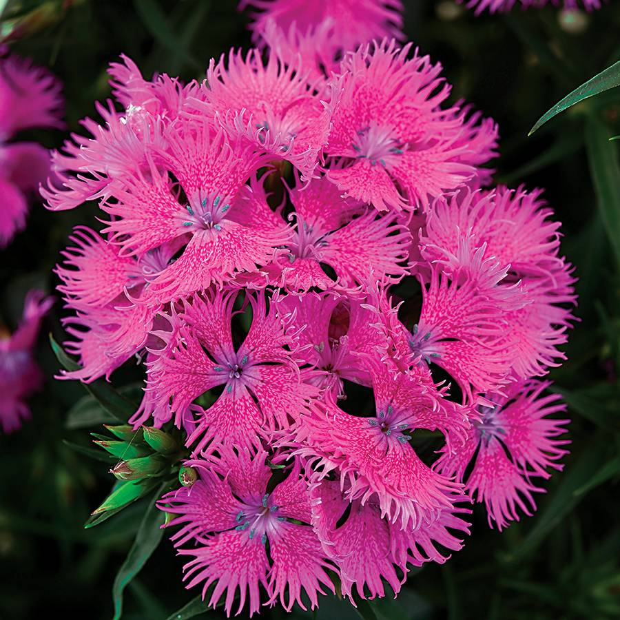 Rockin'™ Purple Dianthus Seeds Image