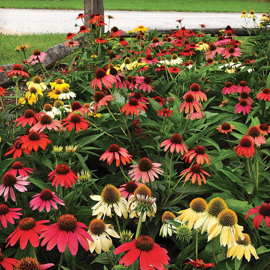 Park S Selects Cheyenne Spirit Coneflower Seeds
