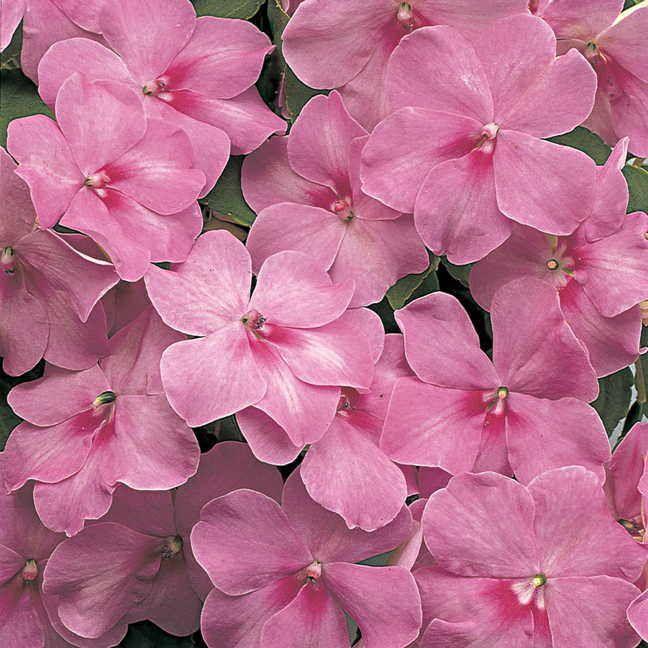 Florific Lavender New Guinea Impatiens Seeds