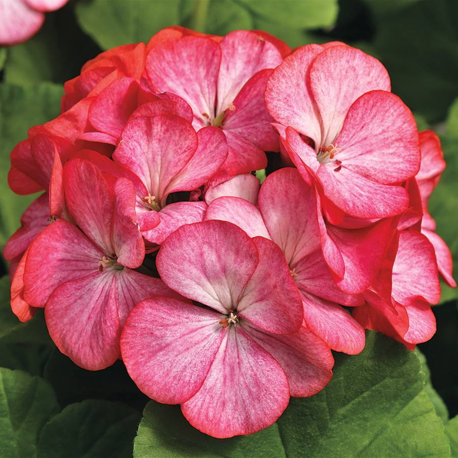 Pinto Premium Rose Bicolor Geranium Seeds From Park Seed