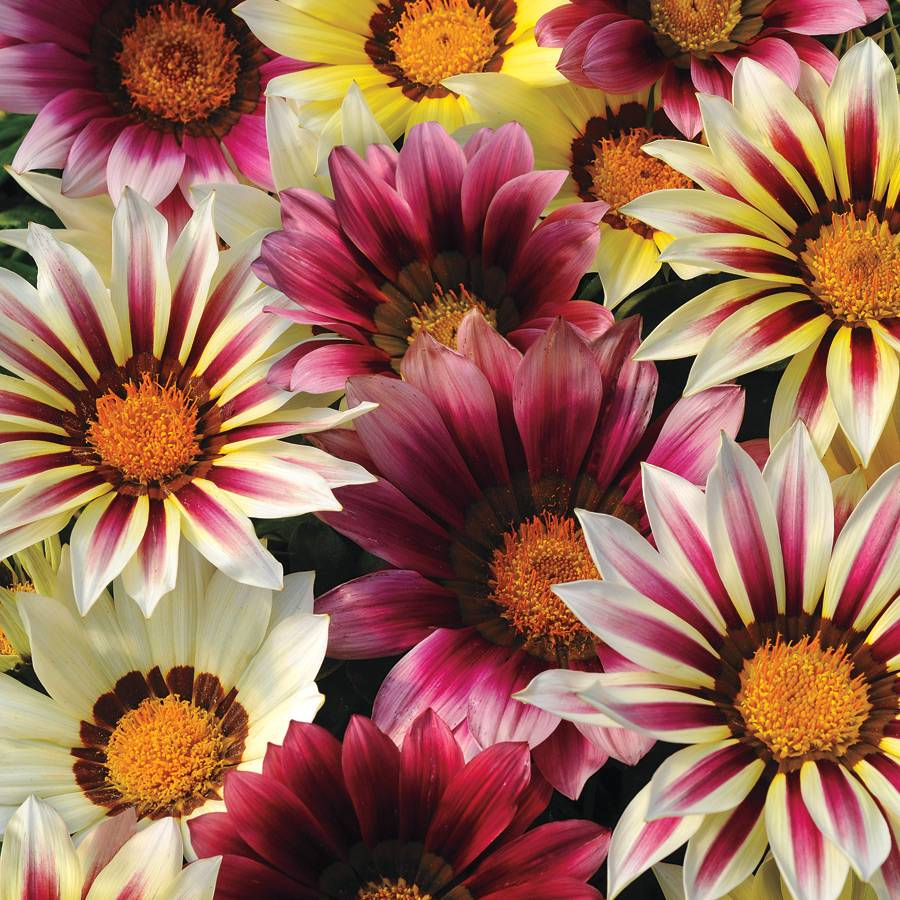 New Day Strawberry Shortcake Mix Gazania Seeds From Park Seed