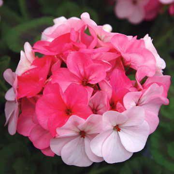 Inspire Appleblossom Geranium Seeds Image