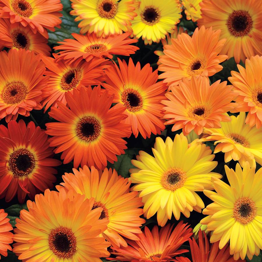 Revolution yellow orange gerbera daisy seeds from park seed revolution yellow orange gerbera daisy seeds izmirmasajfo