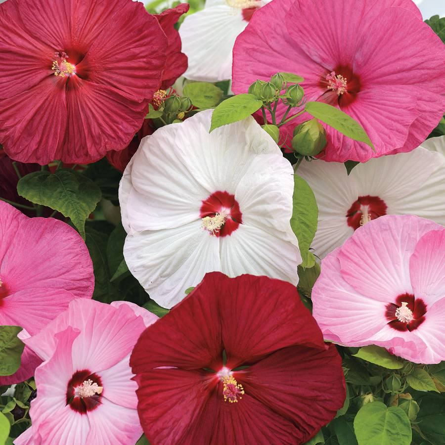 Luna Mix Rose Mallow Seeds From Park Seed