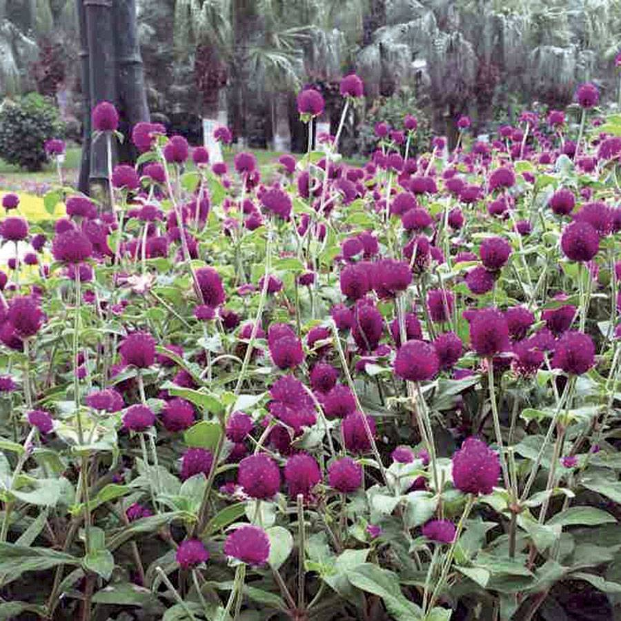Las Vegas Purple Gomphrena Seeds From Park Seed