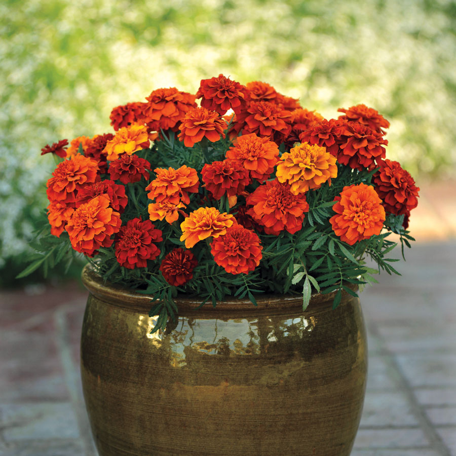 The Greatest Guide To Which Way To Plant Marigold Seeds