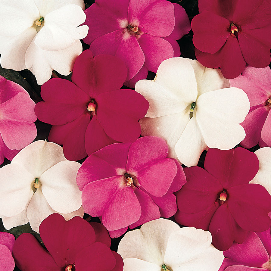 Divine Mystic Mix New Guinea Impatiens Seeds From Park Seed