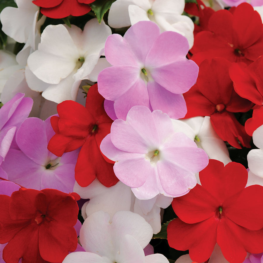 Divine islander mix new guinea impatiens seeds from park seed New guinea impatiens