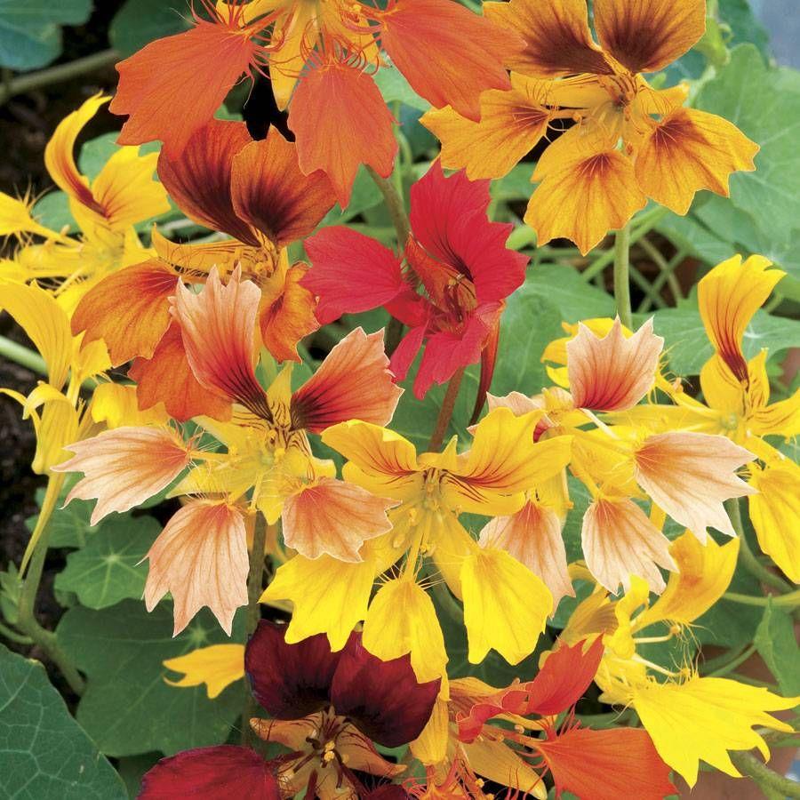 Phoenix Organic Nasturtium Seeds Image