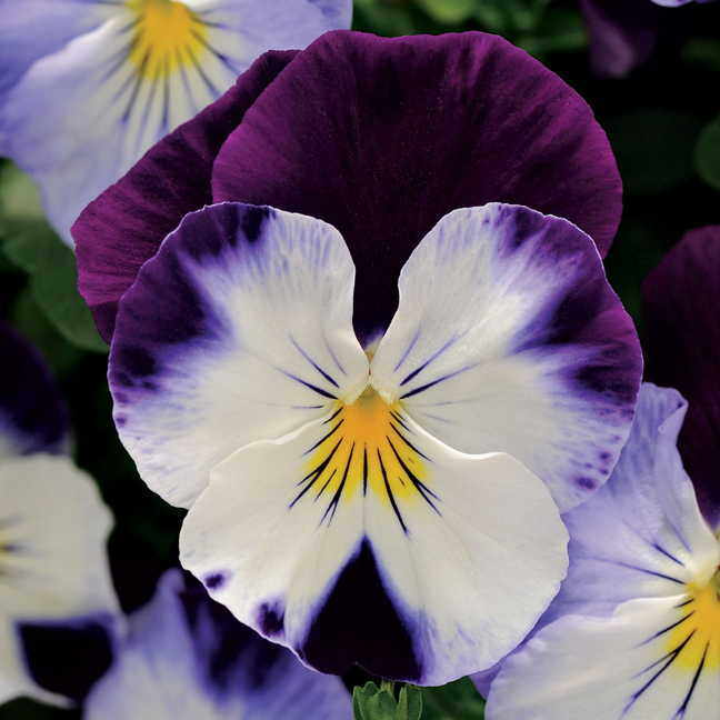 Cool Wave Violet Wing Pansy Seeds
