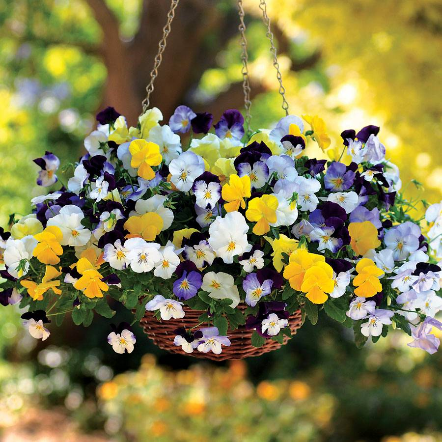 Cool Wave Mix Pansy Seeds
