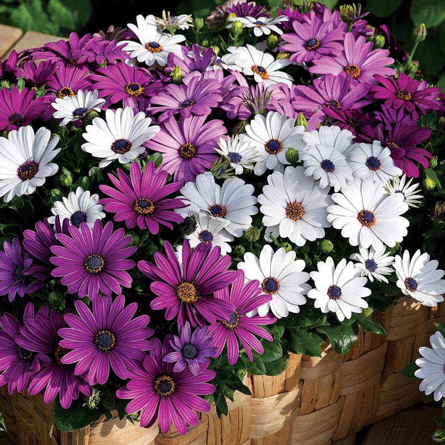 Asti Mix Osteospermum Seeds