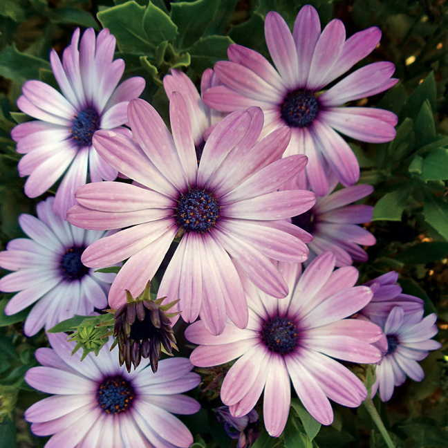 Asti Purple Bicolor Osteospermum Seeds