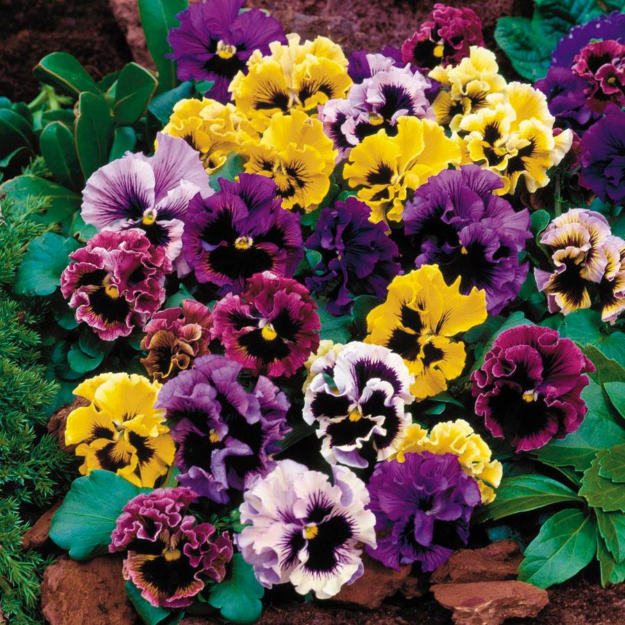 Flirty Skirts Mix Pansy Seeds