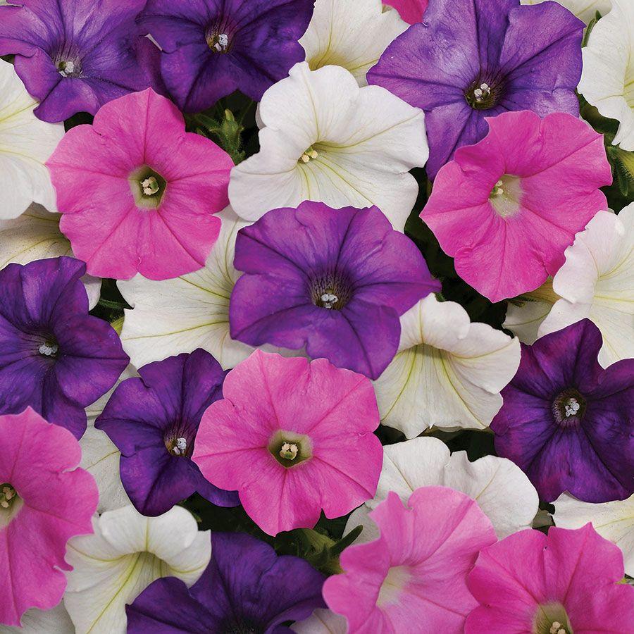 Shock Wave® Spark Mix Petunia Seeds Image