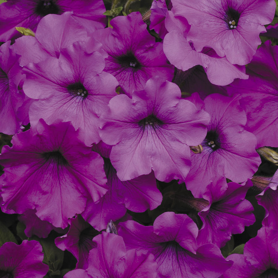 Easy Wave Violet Hybrid Petunia Seeds From Park Seed