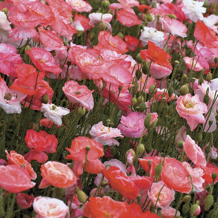 'Falling in Love' Poppy Seeds Image
