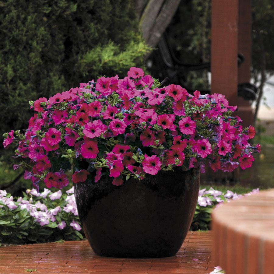 How to grow petunia from seeds - Wave Purple Improved Hybrid Petunia Seeds