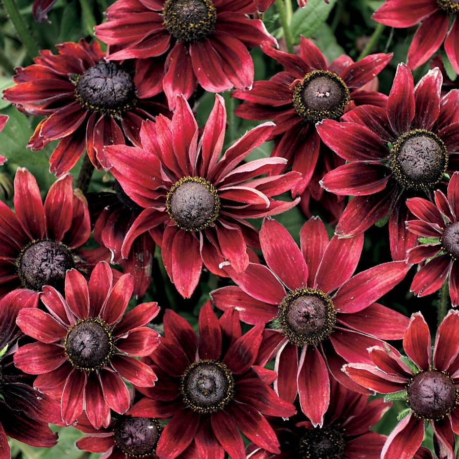 Rudbeckia Cherry Brandy Seeds From Park Seed