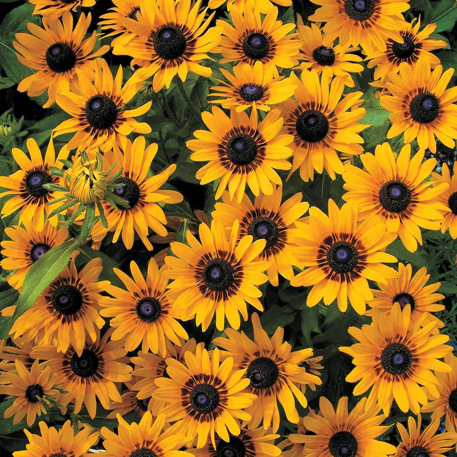how to start rudbeckia seeds indoors