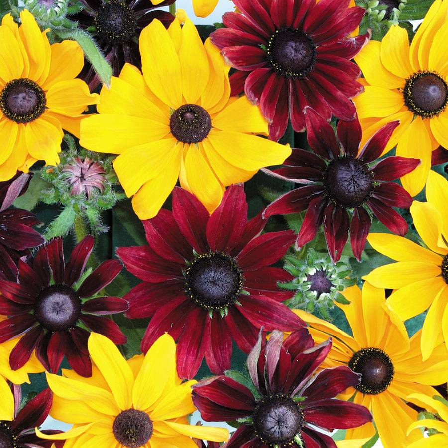 Ruby Gold Rudbeckia Seeds From Park Seed
