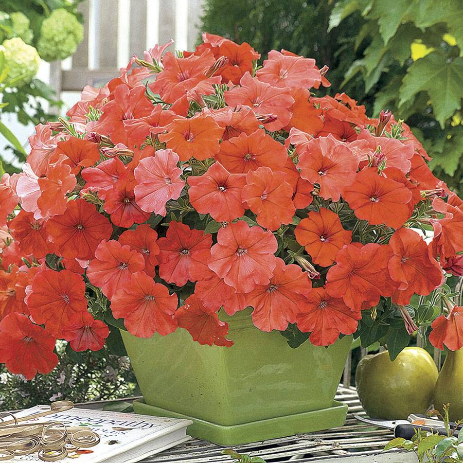 How to grow petunia from seeds - Sold Out African Sunset Petunia Seeds