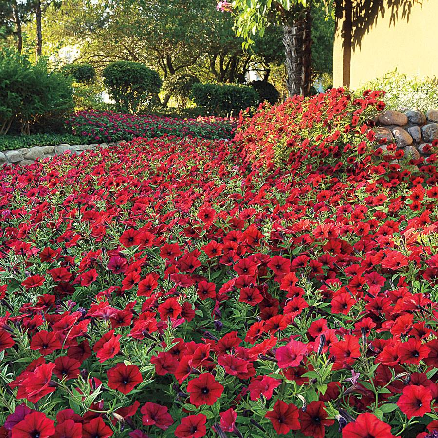 Tidal Wave 174 Red Velour Petunia Seeds From Park Seed
