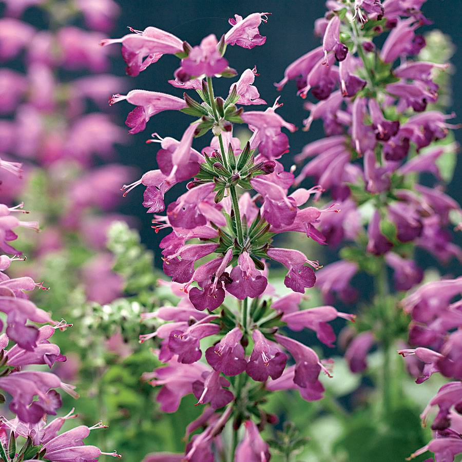 Summer Jewel Lavender Salvia Seeds from Park Seed