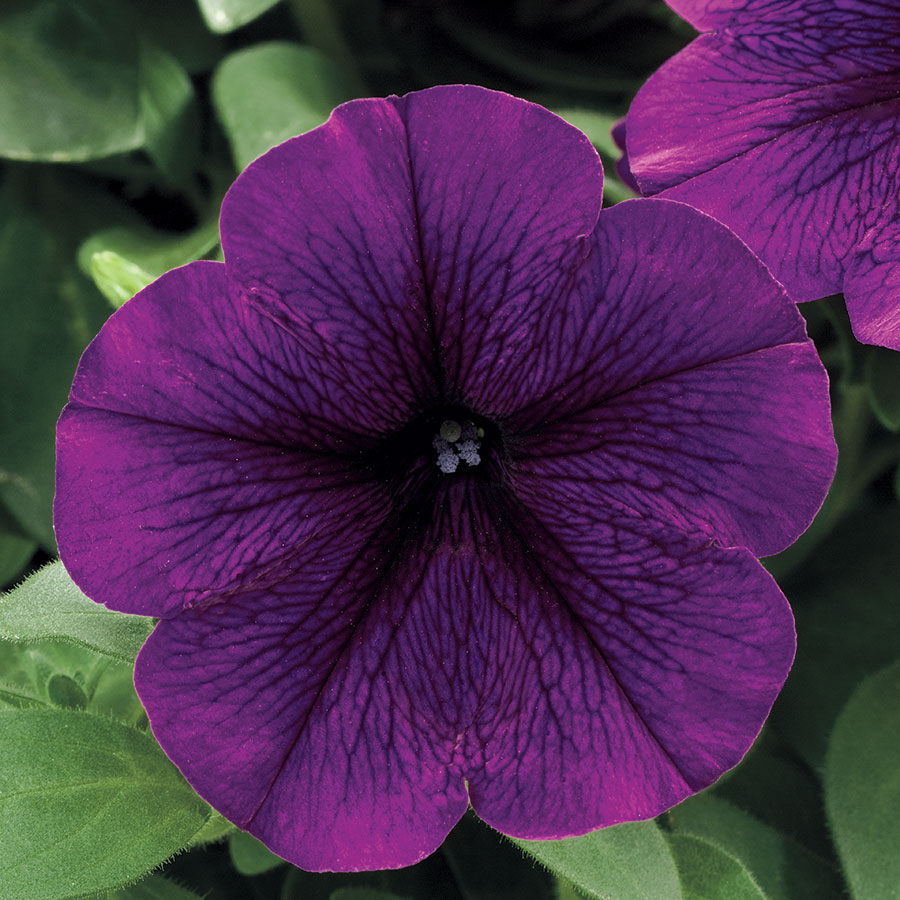 Trilogy Deep Purple Petunia Seeds from Park Seed