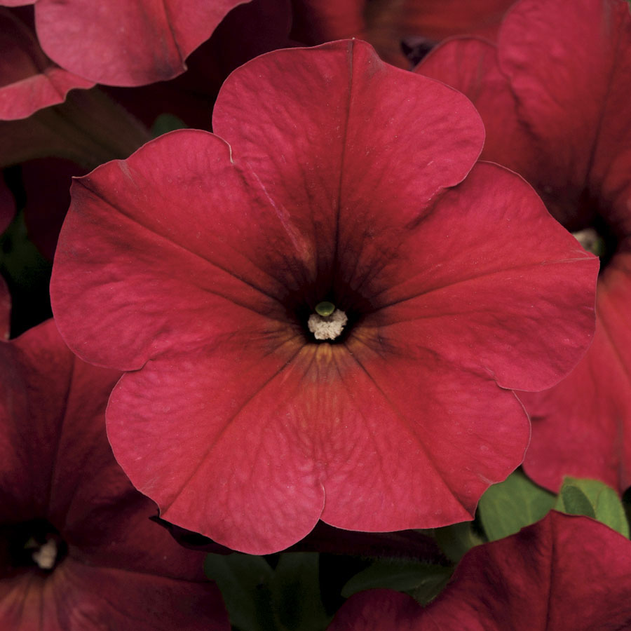 Easy Wave Berry Velour Hybrid Petunia Seeds