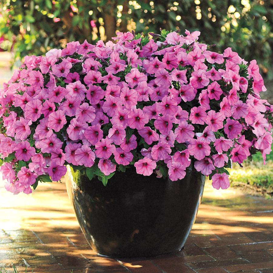 Easy Wave Pink Passion Hybrid Petunia Seeds