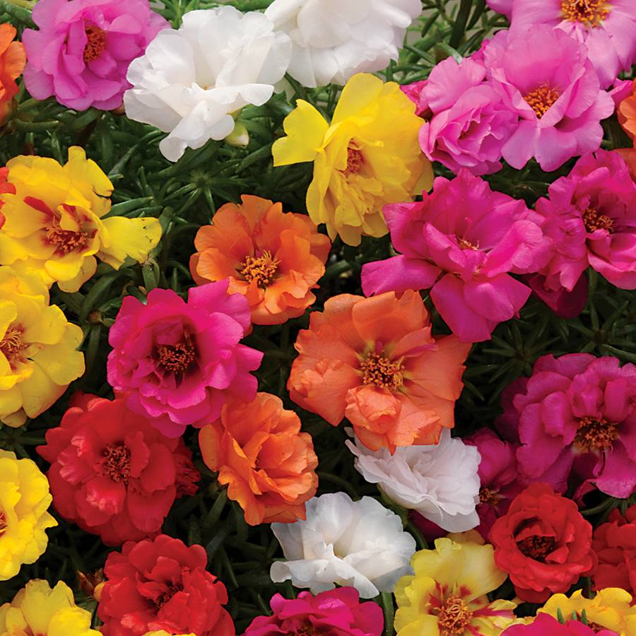 Portulaca Happy Hour™ Mix