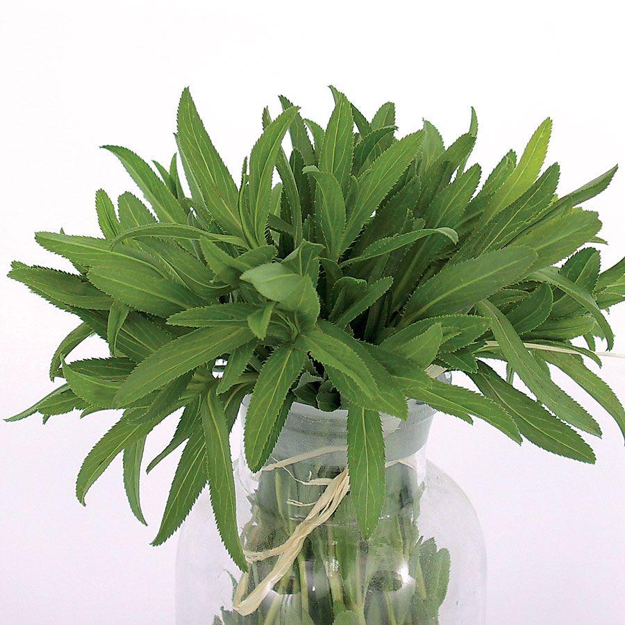 Mexican Organic Tarragon Seeds Image