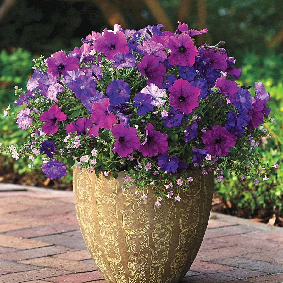 Fuseables® Healing Waters Petunia-Bacopa Seeds Image