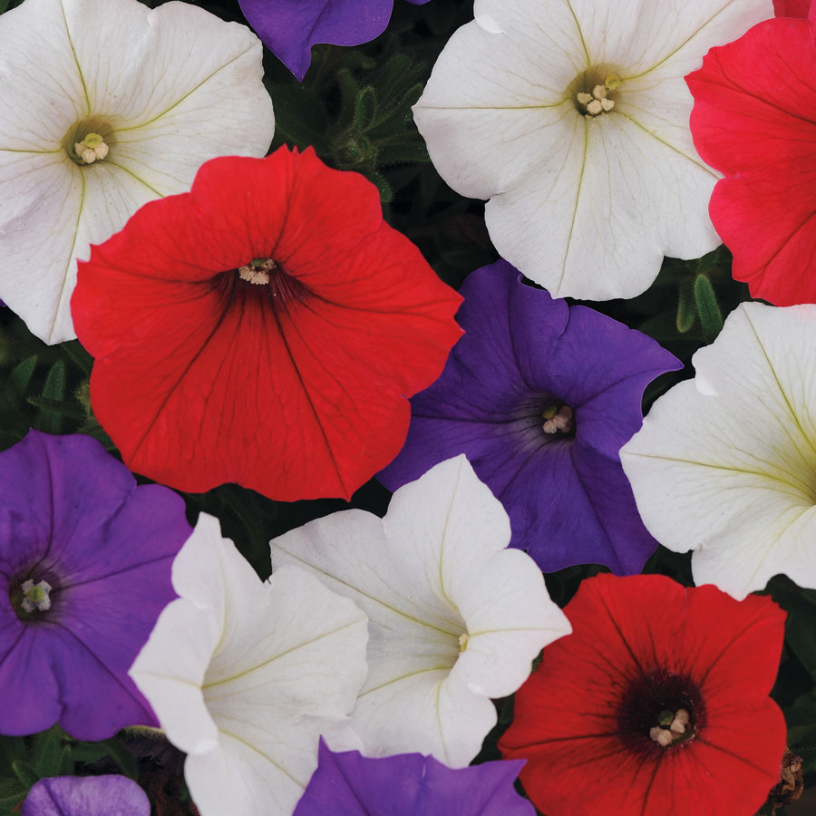 Shock Wave® Volt Mix Petunia Seeds Image